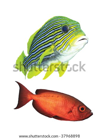Yellow and red fishes isolated on white background - stock photo