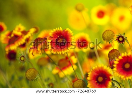 Yellow and red flower in the garden shined at sun - stock photo