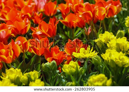 yellow and red flowers/tulips/spring flowers - stock photo
