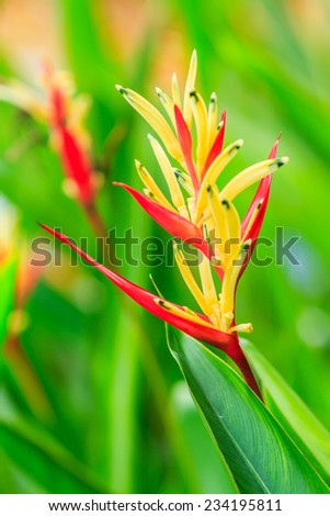 Yellow and red Heliconia flowers in the garden - stock photo