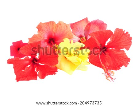 Yellow and red hibiscus flowers on white background.