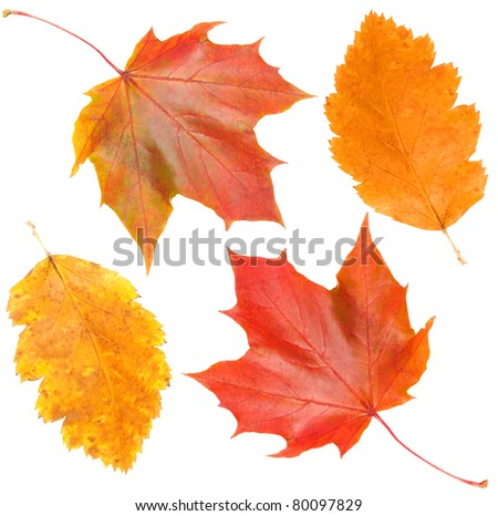 yellow and red leaves on white backgrounds - stock photo