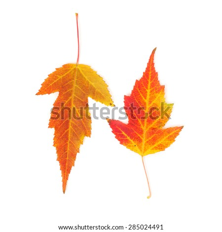 yellow and red maple leaves closeup - stock photo