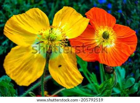Yellow and red poppies
