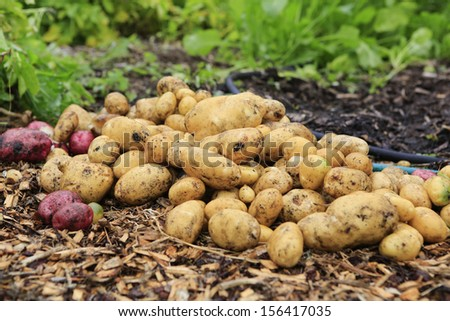Yellow and red potatoes in the organic home garden.