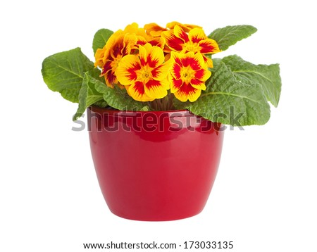 Yellow and red primrose in red pot isolated on white - stock photo