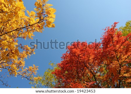 yellow and red tree  leaves against blue sky