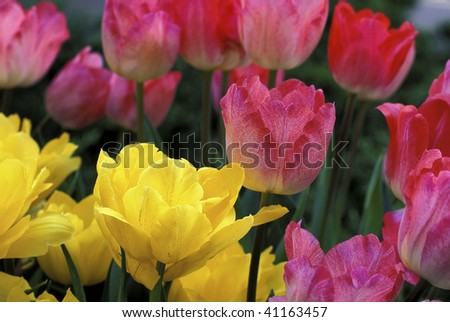 Yellow and red tulips in full bloom - stock photo