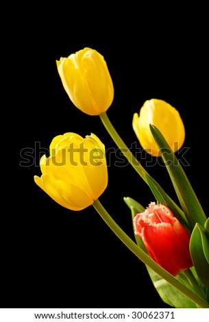 Yellow and red tulips isolated over black - stock photo