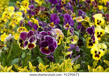 Yellow and violet field pansy flowerbed - stock photo