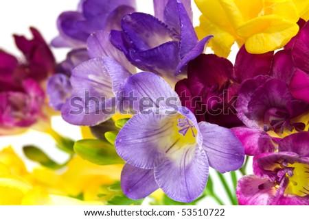 yellow and violet fresia on white - stock photo