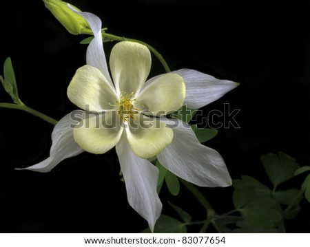 Yellow and White Columbine on Black Background - stock photo