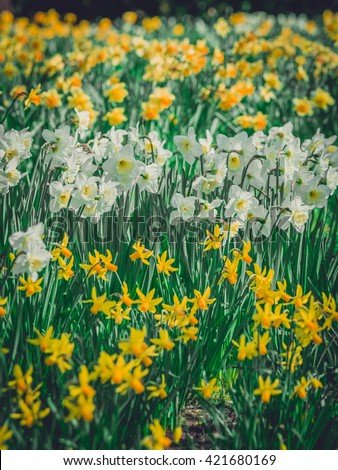Yellow and white daffodils blooming in spring in the park - stock photo