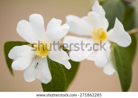 Yellow and white Dogwood flowers with insect on petal - stock photo