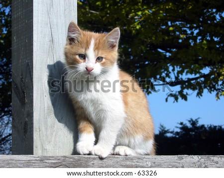 Yellow and white farm cat - stock photo