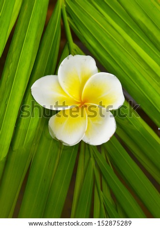 Yellow and white frangipani flowers and palm leaf texture - stock photo