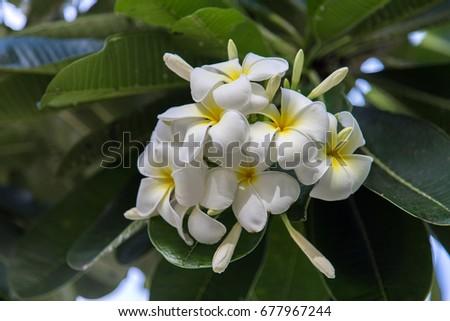 Yellow white frangipani flowers or plumeria stock photo royalty yellow and white frangipani flowers or plumeria jasmine mango in bangkok mightylinksfo Image collections