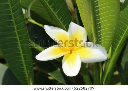 "Yellow and white ""Frangipani"" tree flowers (or Temple Tree, Red Paucipan) in Zurich, Switzerland. Its botanical name is Plumeria Rubra Lutea, native from Mexico to Panama."