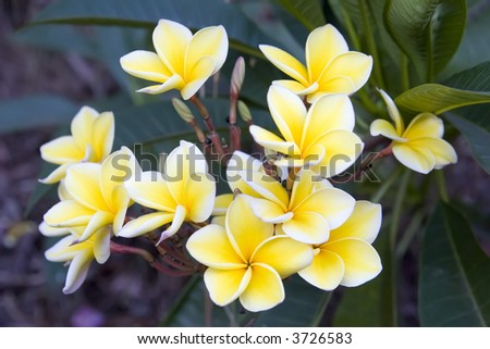 yellow and white plumeria bunch off a tree in hawaii - stock photo