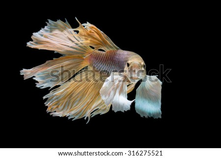 yellow and white siamese fighting fish, betta fish isolated on black - stock photo