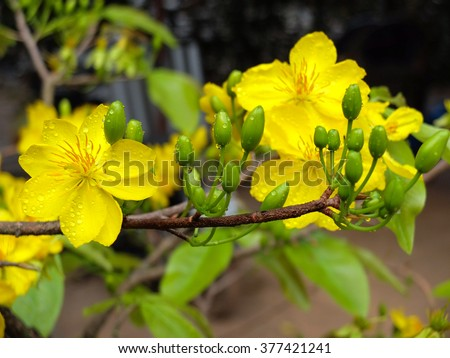 Yellow apricot flowers symbol vietnamese traditional stock photo yellow apricot flowers the symbol of vietnamese traditional lunar new year together with peach flower mightylinksfo