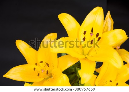 Yellow asian lily flowers in front of black background - stock photo