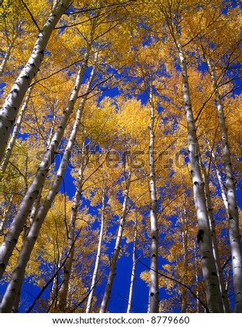 Yellow aspen leaves and blue sky in the Gunnison National Forest of Colorado. - stock photo
