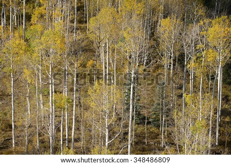 yellow aspen tree from colorado in autumn
