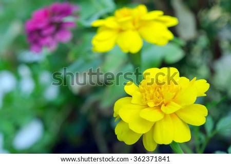 Yellow Aster flower (Science name Callistephus chinensis, family name Compositae) in Rama 9 (local name) national garden, Bangkok Thailand - stock photo