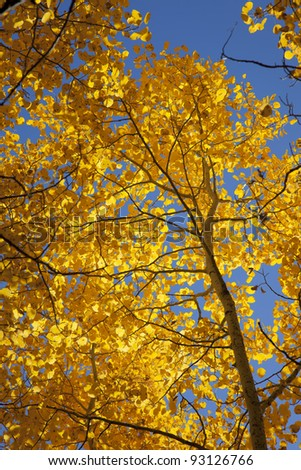 Yellow Autumn Aspen, natural view, under blue sky, Sierra Nevada Range, California - stock photo