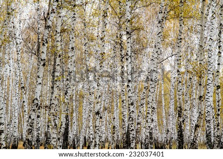 yellow autumn birch forest