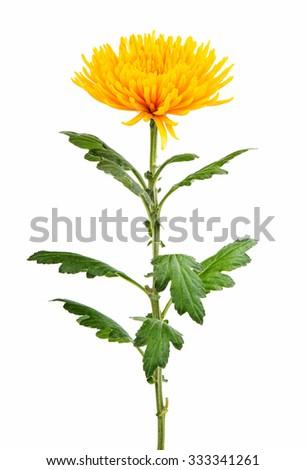 Yellow autumn chrysanthemum isolated on white - stock photo