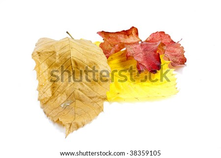 yellow autumn coloured chestnut and elm and ash leaves on white background