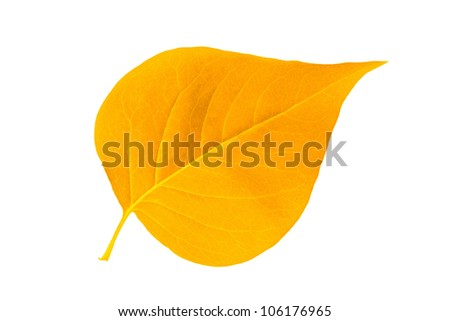 Yellow autumn leaf lilac isolated on white background - stock photo