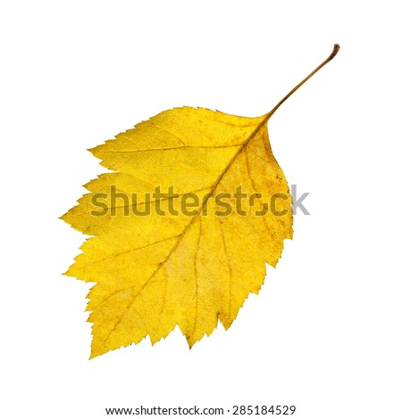 Yellow autumn leaf the hawthorn isolated on the white. - stock photo
