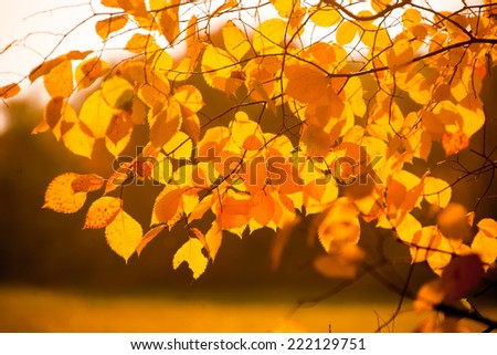 Yellow autumn leaves and branches on a sunny day