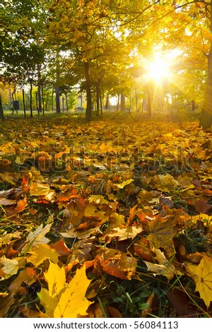 Yellow autumn leaves at sunset - stock photo