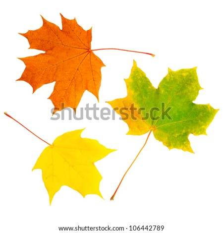 Yellow autumn leaves isolated on white background - stock photo
