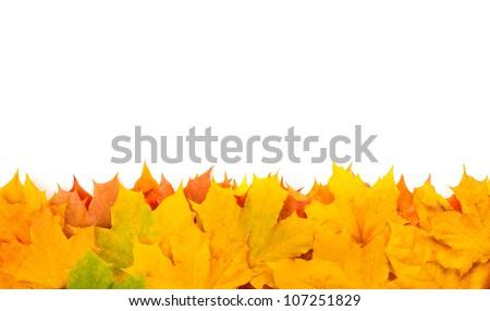 Yellow autumn leaves isolated on white background - stock photo