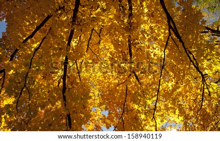 yellow autumn leaves looking up