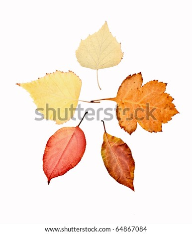Yellow autumn leaves on a white background - stock photo