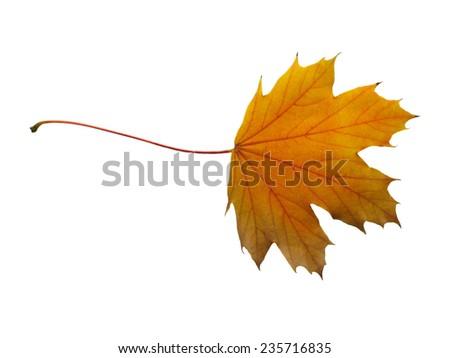 Yellow autumn maple leaf. isolated on white - stock photo