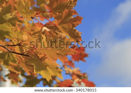 Yellow autumn maple leaves against the sky