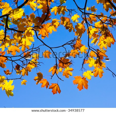Yellow autumn maple leaves over blue background