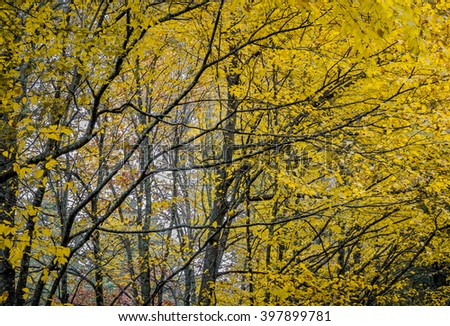 Yellow autumn trees usually arrive first in Fall - stock photo
