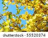 Yellow autumnal leaves against blue sky - stock photo