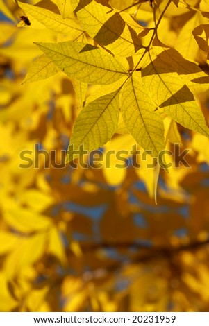 Yellow autumnal leaves in the sun rays.