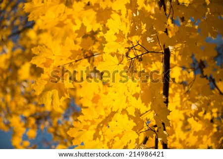 Yellow autumnal maple foliage, selective focus and shallow DoF - stock photo