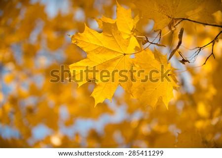 Yellow autumnal maple foliage, selective focus and shallow DoF - stock photo