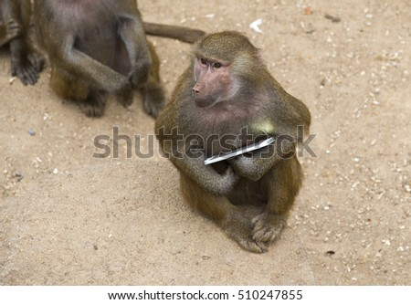 Yellow baboon playing with a smartphone in a zoo